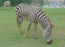 Zebra eatting grass. The zeabra eatting gress in Thailand Royalty Free Stock Image