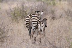 Zebra ed i suoi giovani Fotografie Stock Libere da Diritti