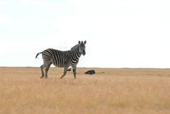 Zebra on edge Royalty Free Stock Image