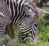 Zebra At Edmonton Valley Zoo Stock Photos