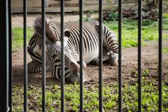 Zebra in een dierentuin stock foto's