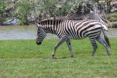 Zebra in een dierentuin Stock Afbeelding