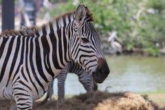 Zebra in een dierentuin Royalty-vrije Stock Afbeeldingen