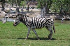 Zebra in een dierentuin Royalty-vrije Stock Fotografie