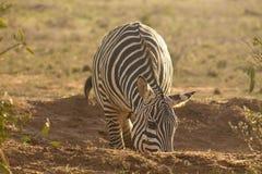 Zebra in een spelaandrijving die wordt bevlekt stock afbeelding