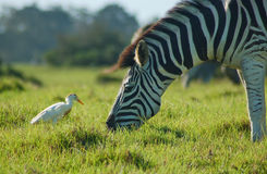 Zebra with egret South Africa Stock Photography