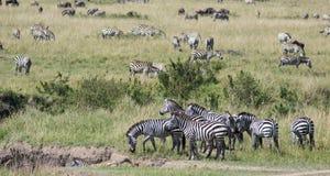 Zebra-Eifer Lizenzfreies Stockfoto