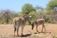 Zebra - eine Stute mit ihrem Fohlen in Afrika Lizenzfreie Stockfotos