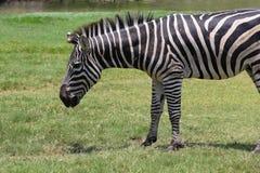 Zebra in einem Zoo Stockbilder