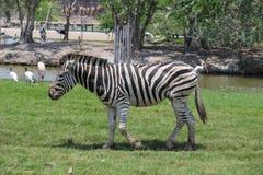 Zebra in einem Zoo Stockfotografie