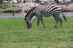 Zebra in einem Zoo Lizenzfreie Stockfotografie