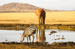Zebra and Elephant. Watering place in savanna. Eastern Africa Royalty Free Stock Photography