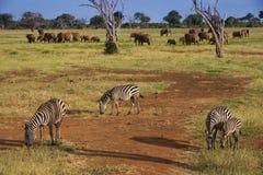 Zebra and elephants on the african savannah. In Tsavo east Kenya royalty free stock photo