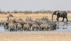 Zebra And Elephants Royalty Free Stock Image