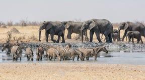 Zebra And Elephants Royalty Free Stock Photography
