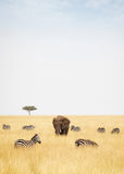 Zebra and Elephants in Kenya - Vertical Royalty Free Stock Image