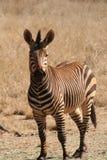 Zebra em África Fotos de Stock Royalty Free