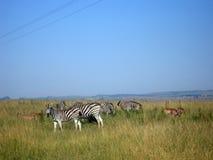 Zebra em África do Sul Imagens de Stock Royalty Free