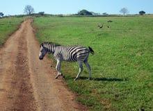 Zebra em África do Sul Imagem de Stock Royalty Free