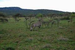 Zebra em Maasai Mara National Reserve, Kenya imagens de stock royalty free