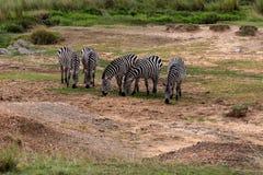 Zebra em Masai Mara, Kenya de duas planícies, África foto de stock royalty free