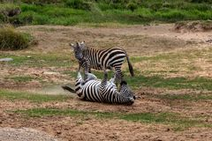 Zebra em Masai Mara, Kenya de duas planícies, África fotos de stock