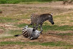Zebra em Masai Mara, Kenya de duas planícies, África imagens de stock royalty free