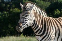 Zebra em Sun Imagens de Stock