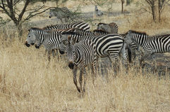 Zebra em Tanzânia foto de stock royalty free