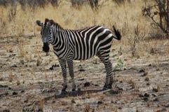 Zebra em Tanzânia imagens de stock royalty free