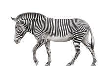 Zebra em um fundo branco Imagens de Stock Royalty Free