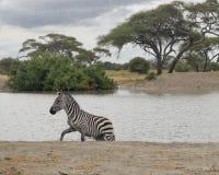 Zebra em um lago Fotografia de Stock