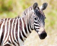Zebra em um pasto ilustração royalty free