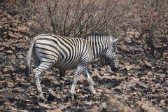 Zebra em uma área queimada do arbusto Fotos de Stock