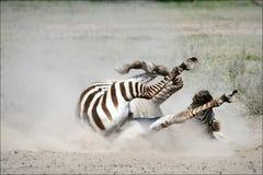 Zebra em uma poeira. Foto de Stock Royalty Free