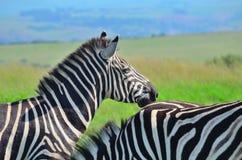 Zebra em uma reserva africana do jogo Fotos de Stock