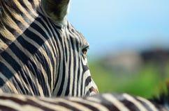 Zebra em uma reserva africana do jogo Fotos de Stock Royalty Free
