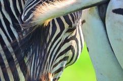 Zebra em uma reserva africana do jogo Fotografia de Stock Royalty Free