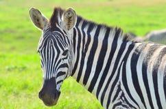 Zebra em uma reserva africana do jogo Foto de Stock