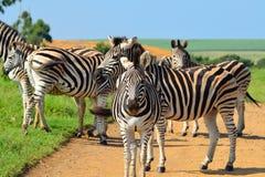 Zebra em uma reserva africana do jogo Imagem de Stock