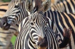 Zebra em uma reserva africana do jogo Foto de Stock Royalty Free
