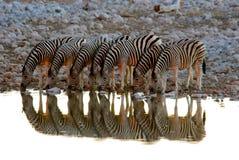Zebra em Waterhole Fotografia de Stock Royalty Free