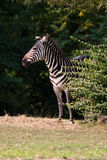 Zebra. A zebra emerges from the brush Royalty Free Stock Photos