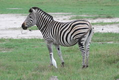 Zebra en Aigrette Royalty-vrije Stock Afbeelding