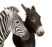 Zebra en Ezel Royalty-vrije Stock Foto's