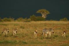 Zebra en gazelle Stock Afbeelding