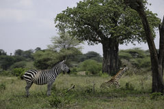 Zebra en Girafzitting samen Stock Foto's