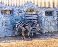 Zebra en haar pasgeboren baby stock foto's
