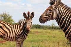 Zebra en haar zoon Royalty-vrije Stock Afbeelding