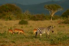 Zebra en impala stock fotografie